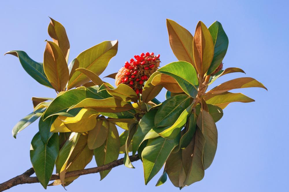 magnolie-frucht-essbar