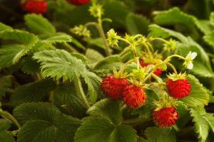 Walderdbeeren – köstliche Nascherei für Garten und Balkon