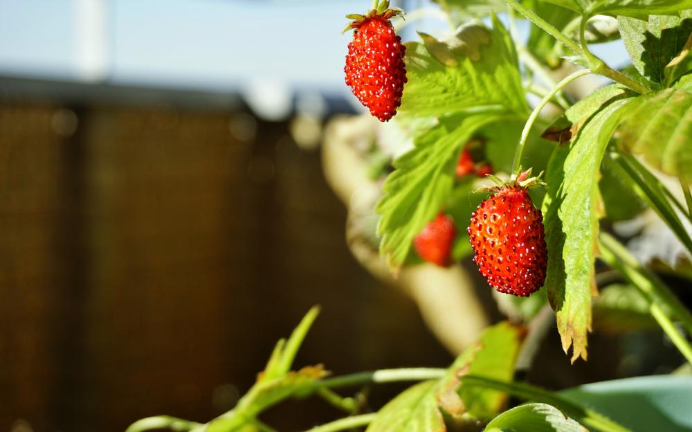 walderdbeeren-balkon