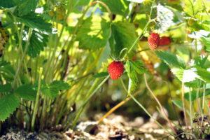 Walderdbeeren pflanzen – das gibt es zu beachten