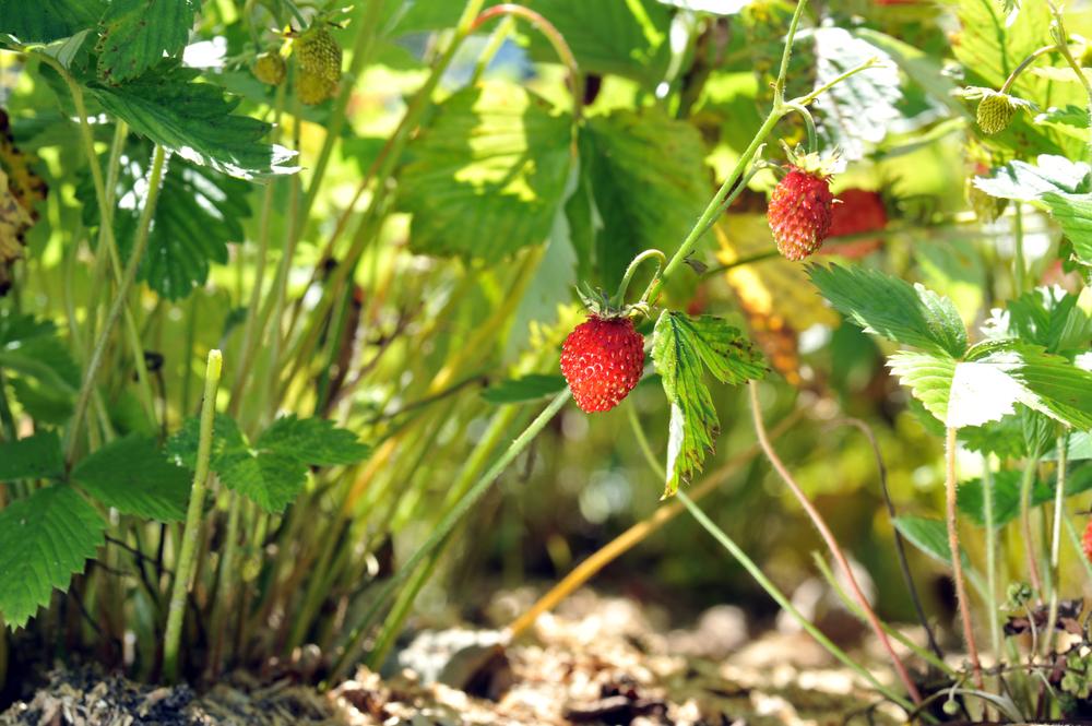 walderdbeeren-pflanzen