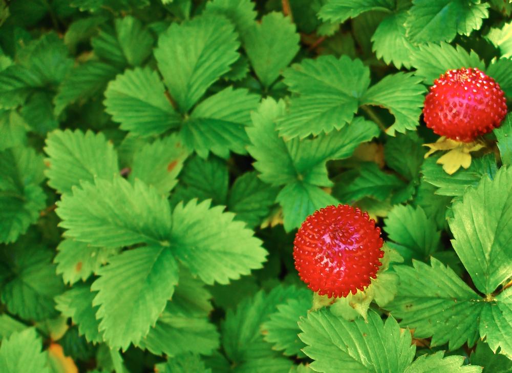 walderdbeeren-pflege