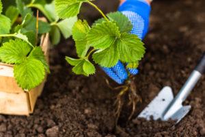 Wann werden Erdbeeren gepflanzt?