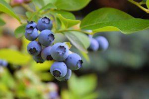 Heidelbeeren oder Blaubeeren – welche Bezeichnung ist richtig?
