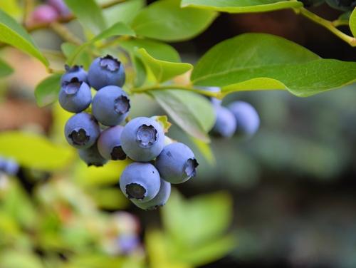 blaubeeren-heidelbeeren