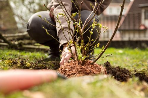 heidelbeeren-umpflanzen