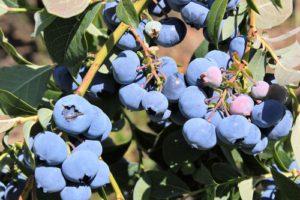 Welche Heidelbeersorten gibt es?