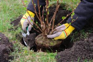 Johannisbeeren anpflanzen – so klappt es