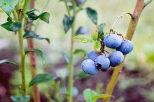 Kulturheidelbeeren anpflanzen – diese Sorten stehen zur Wahl