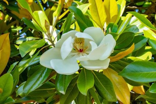 magnolie-gelbe-blaetter