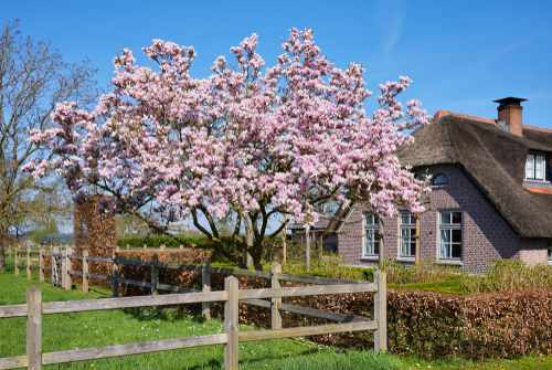 magnolie-hoehe