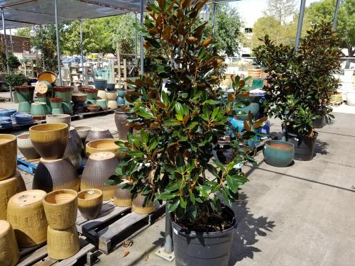 magnolie-im-kuebel