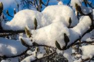 magnolie-im-winter