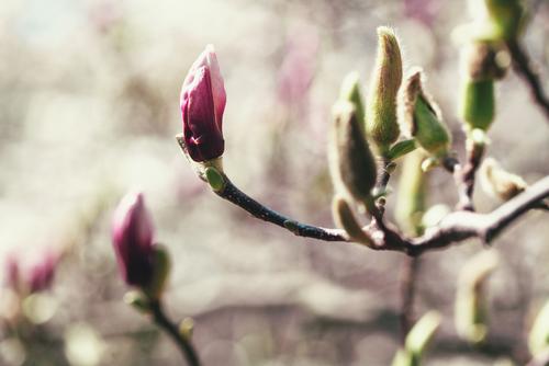 magnolie-knospen