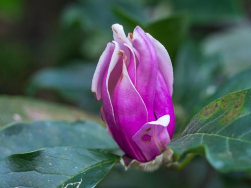 magnolie-krankheiten