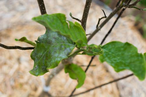 magnolie-pilzbefall