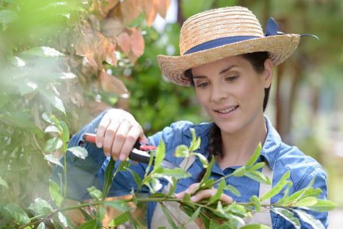 magnolie-schneiden-zeitpunkt