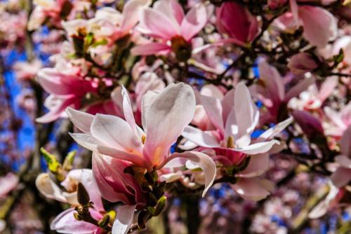 magnolie-steckbrief