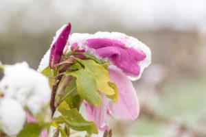 So kommt Ihre Magnolie gut durch den Winter