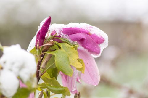 magnolie-ueberwintern