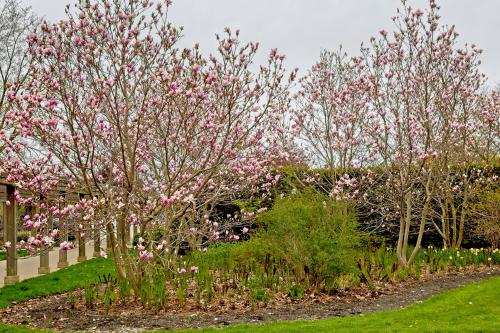 magnolie-unterpflanzen