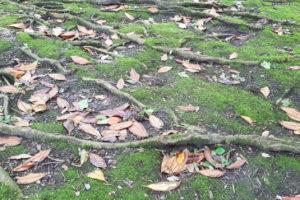 Was Sie zu den Wurzeln der Magnolie wissen sollten