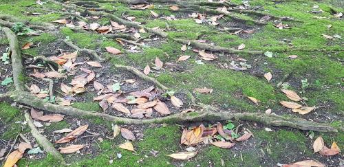 magnolie-wurzel