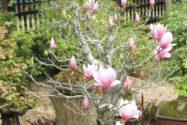 magnolie-zimmerpflanze