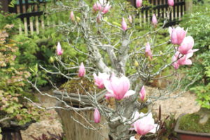 Eignet sich die Magnolie als Zimmerpflanze?