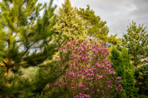 Klassische Wuchsform: der Magnolienbusch