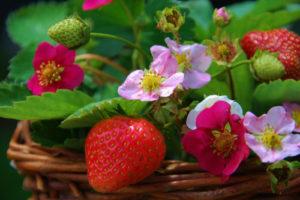 Monatserdbeeren – diese Sorten gibt es