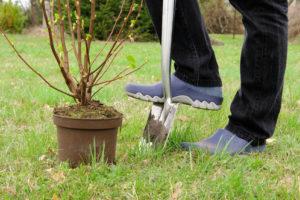 Rote Johannisbeeren pflanzen – das gibt es zu beachten
