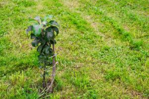 Säulenapfel pflanzen – das gibt es zu beachten