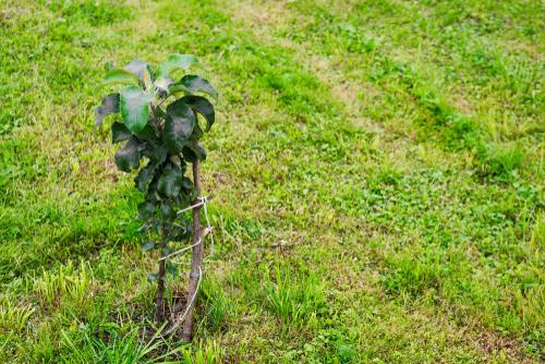 saeulenapfel-pflanzen
