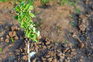 Säulenäpfel richtig pflegen – das gibt es zu tun