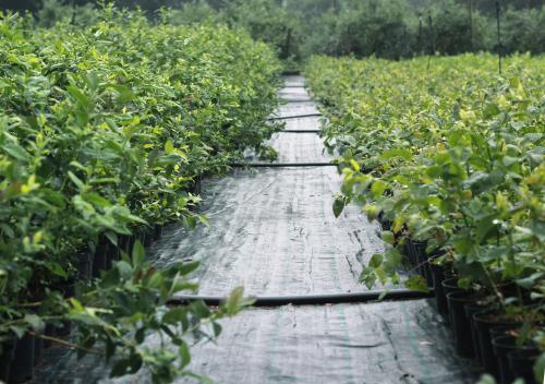 waldheidelbeeren-pflanzen-kaufen