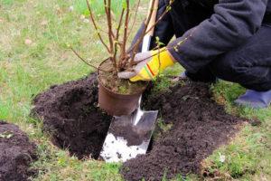 Wann Johannisbeeren pflanzen – der richtige Pflanzzeitpunkt
