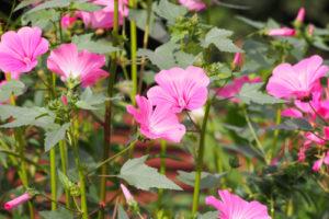 Bechermalve mehrjährig anpflanzen – so gelingt es