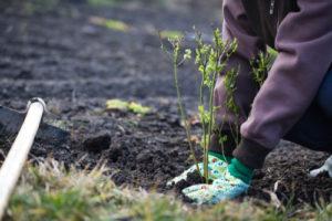 Beeren anbauen – das gibt es zu beachten