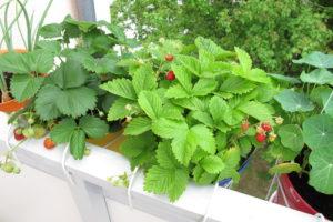 Beeren auf dem Balkon anbauen – funktioniert das?