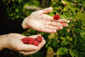 Beeren ernten – so geht es richtig