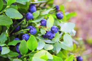 Welche Beerenarten wachsen auch im Halbschatten?