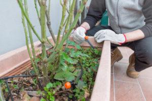 Beetrosen im Kübel kultivieren – klappt das?