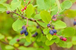Sind die Früchte der Felsenbirne essbar?