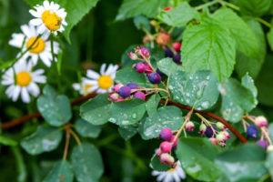 Felsenbirne unterpflanzen – Welche Pflanzen kommen dafür infrage?