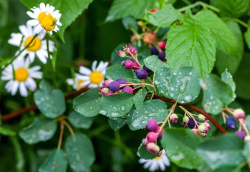 felsenbirne-unterpflanzen