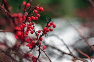 Goji-Beeren überwintern – so klappt es