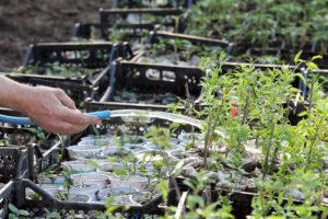 Goji-Beeren vermehren – so klappt es