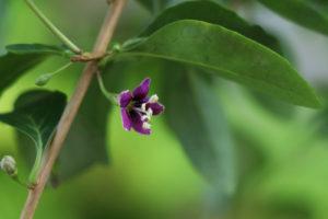 Die Blüten der Goji-Beere – das gibt es zu wissen