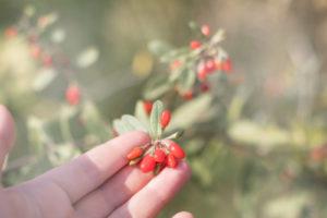 Goji-Beeren – Wann haben sie Erntezeit?